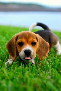 Beagle puppies in Texas