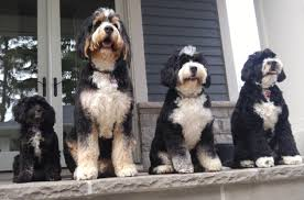 Bernedoodle Sizes