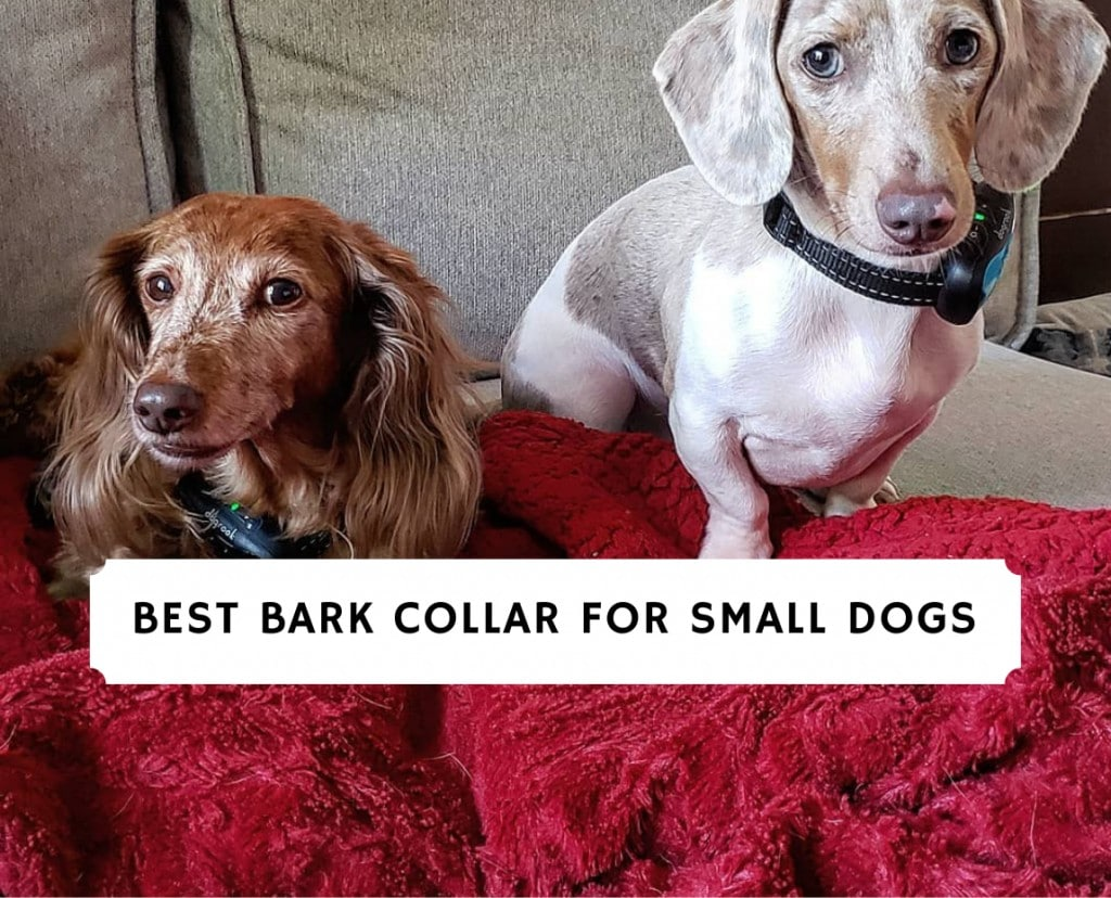 Best Bark Collar for Small Dogs