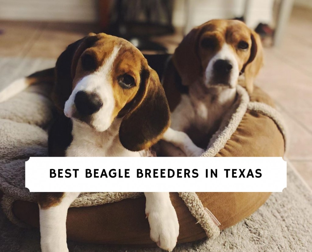 Beagle breeders in texas