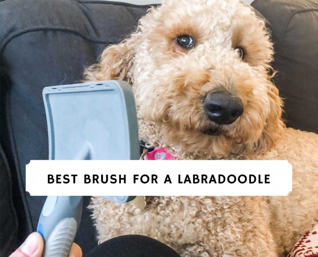 Best Brush for a Labradoodle