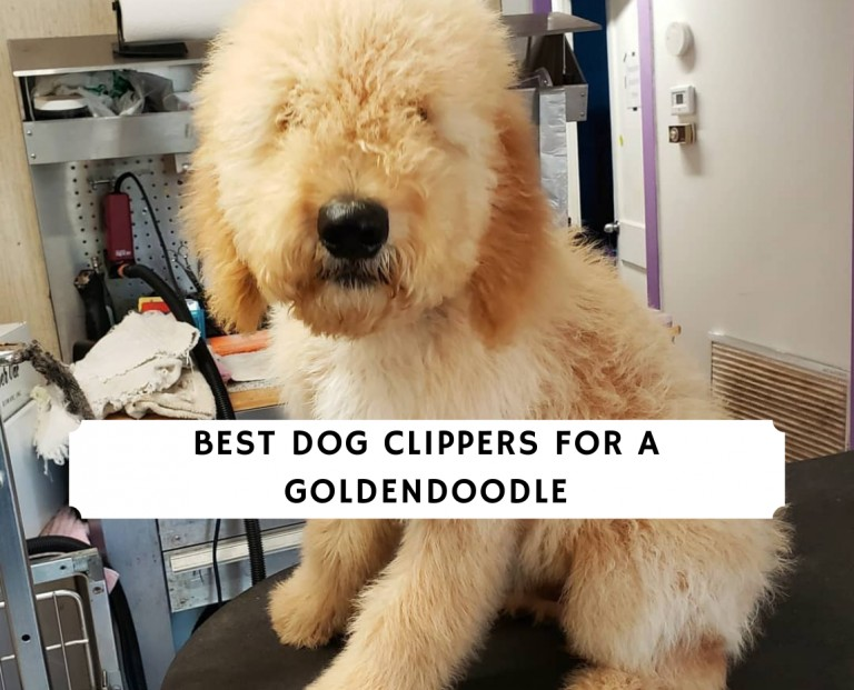 Best Clippers for a Goldendoodle