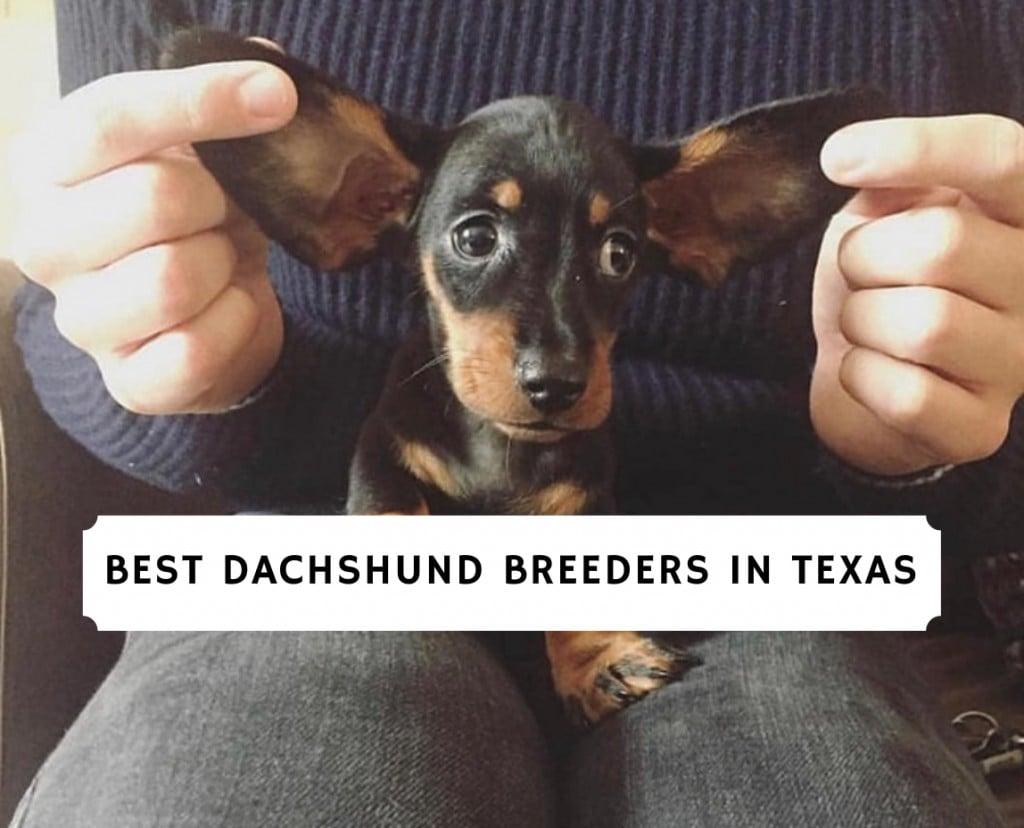 Best Dachshund Breeders in Texas