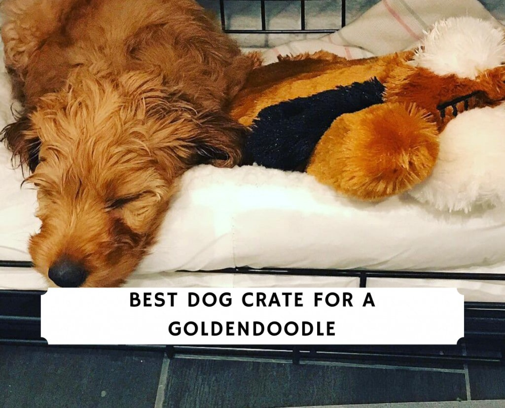 Best Dog Crate for a Goldendoodle