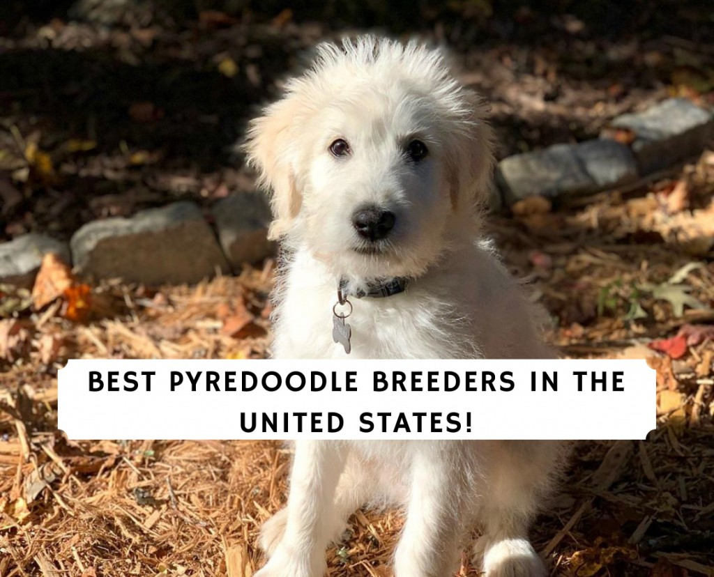 Best Pyredoodle Breeders in the United States