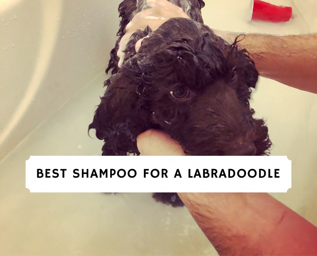 Best Shampoo for a Labradoodle