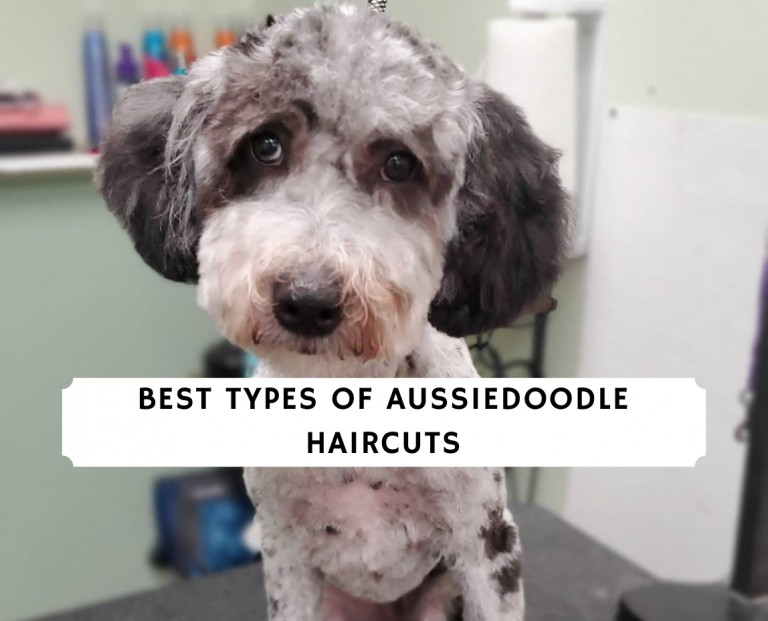 Best Types of Aussiedoodle Haircuts