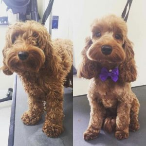 Cockapoo Haircut before and after
