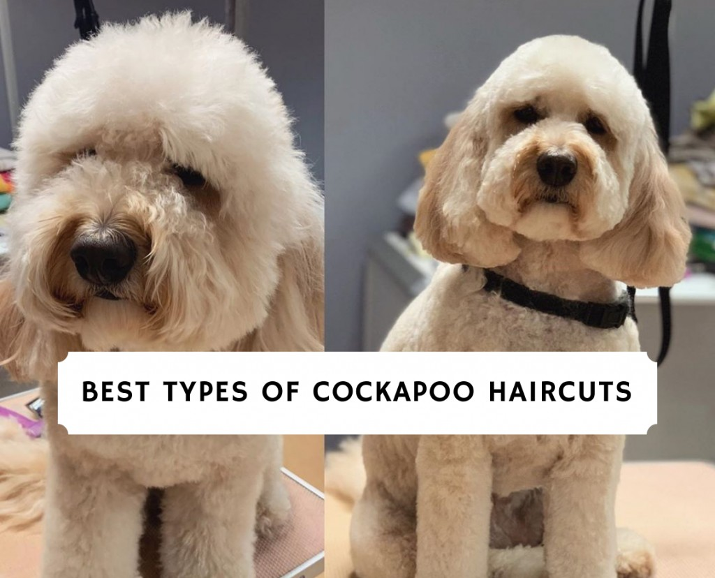 Best Types of Cockapoo Haircuts