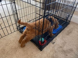 Best crate for mini goldendoodle