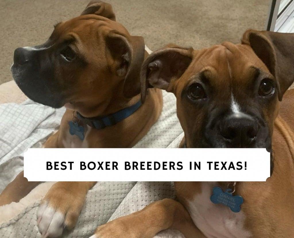 Boxer Breeders in Texas