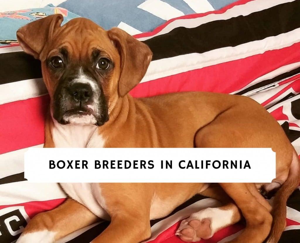 Boxer breeders in California
