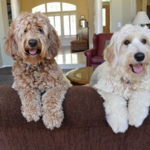 Brookside Mini Labradoodles