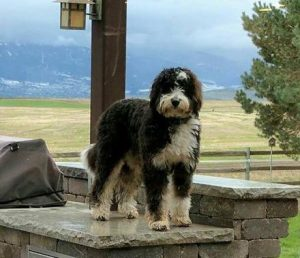 Factors that Can Affect Bernedoodle Growth