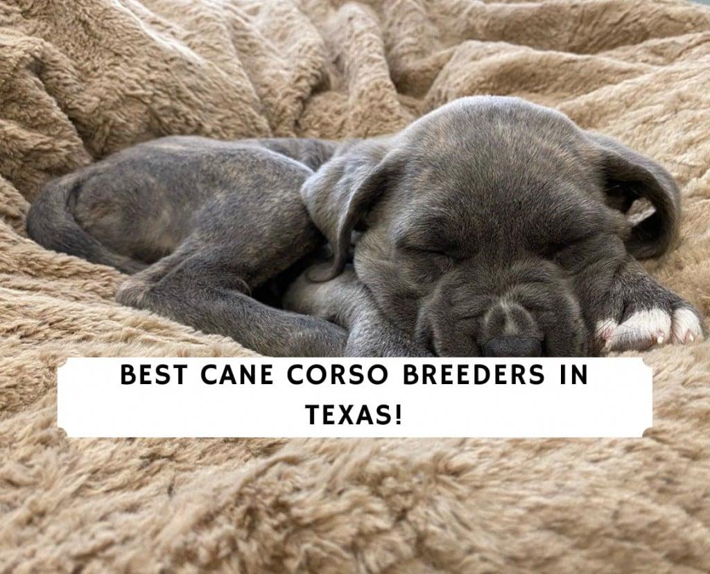 Cane Corso Breeders in Texas