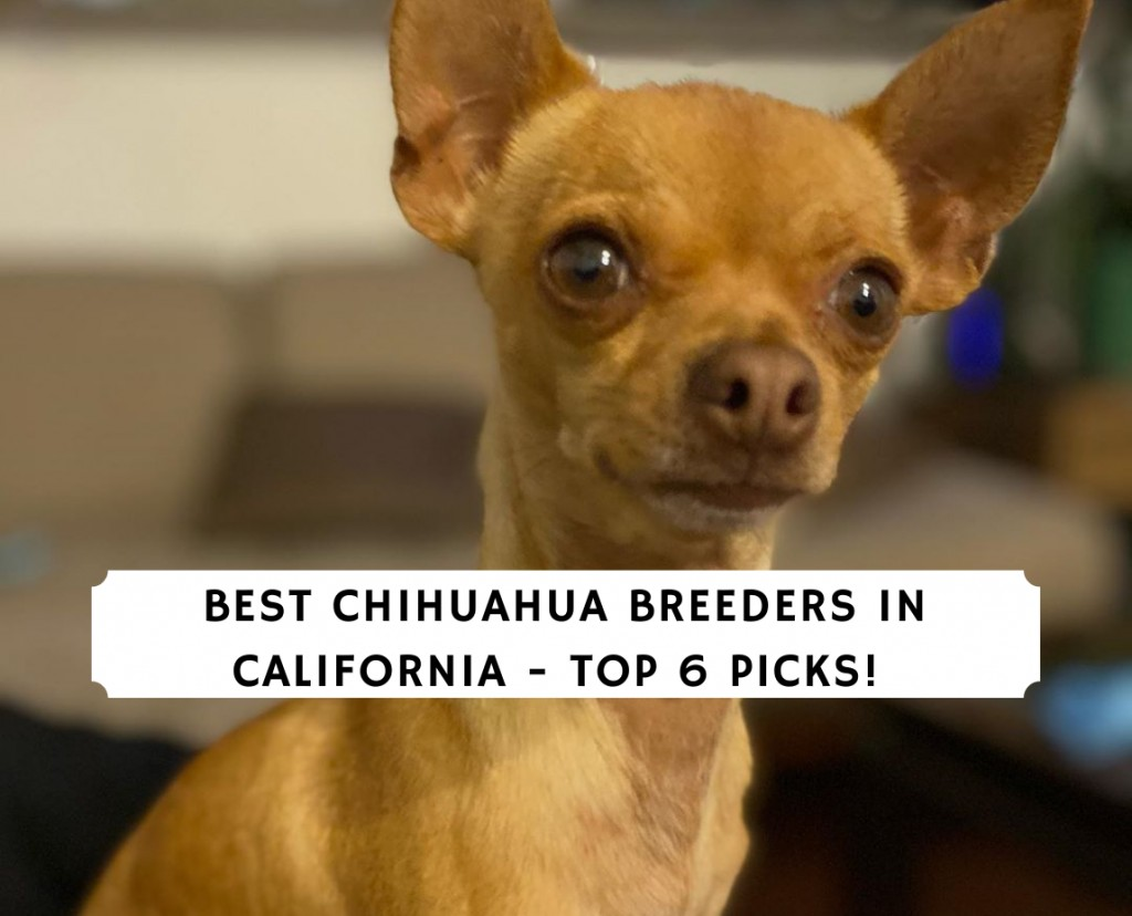 Chihuahua Breeders in California