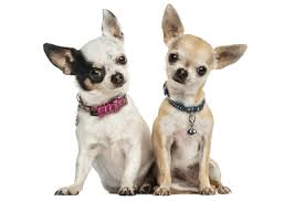 Chihuahua Puppies in California