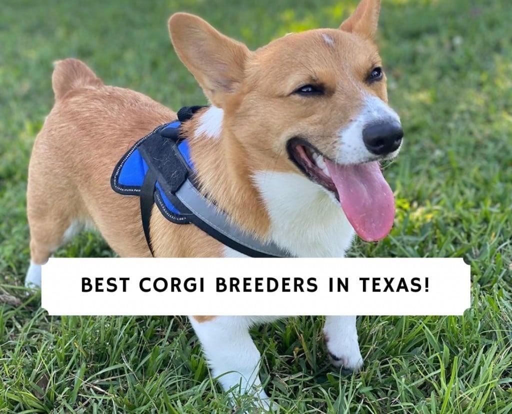 Corgi Breeders in Texas