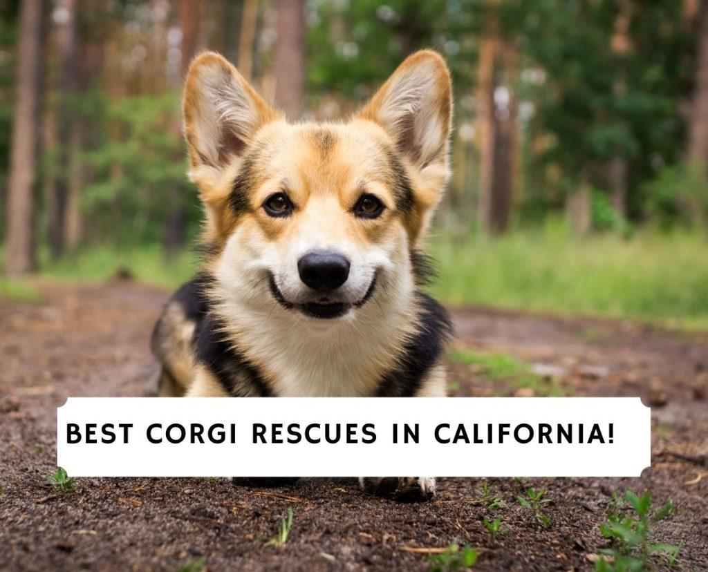 Corgi Rescues in California