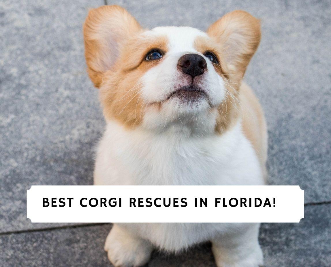 Corgi Rescues in Florida