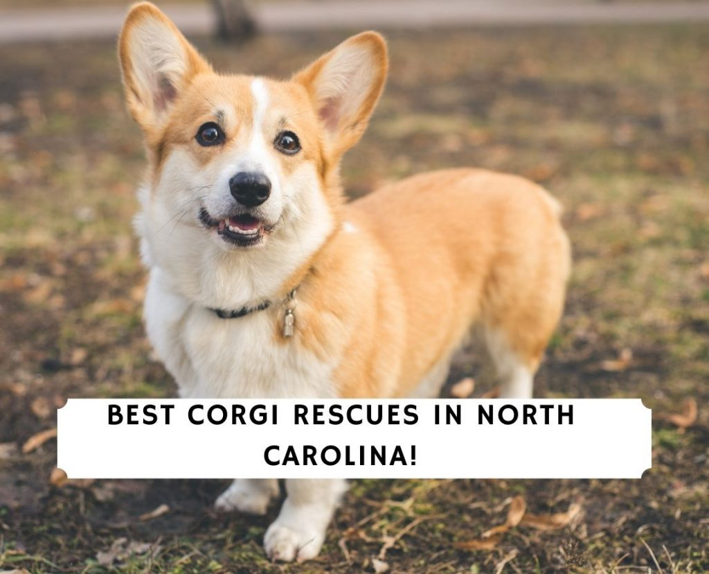 Corgi Rescues in North Carolina