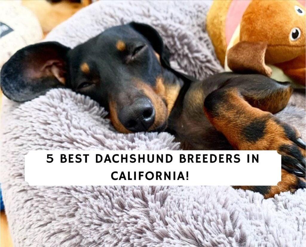 Dachshund Breeders in California