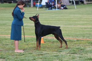 Devenshire Dobermans Southern California