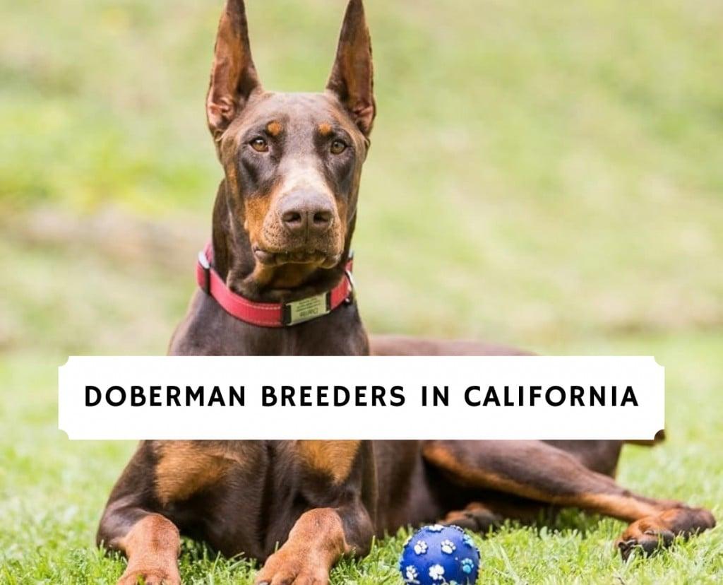 Doberman Breeders in California
