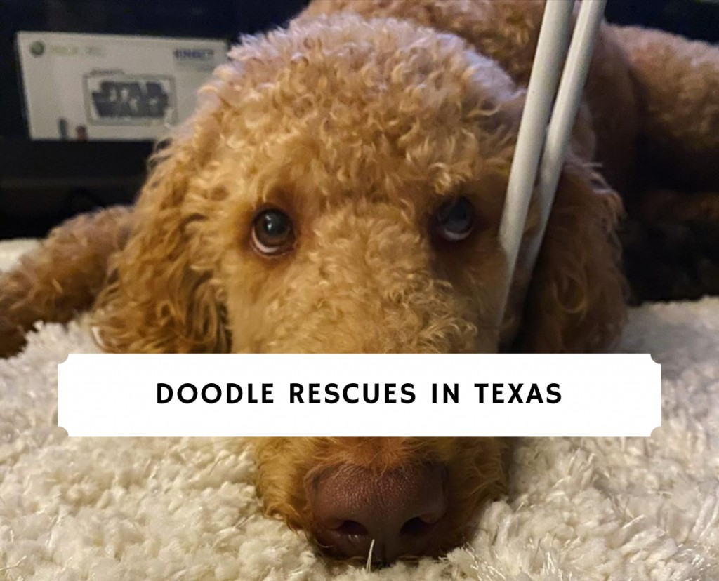 Doodle rescues in Texas