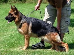 Elite German Shepherds