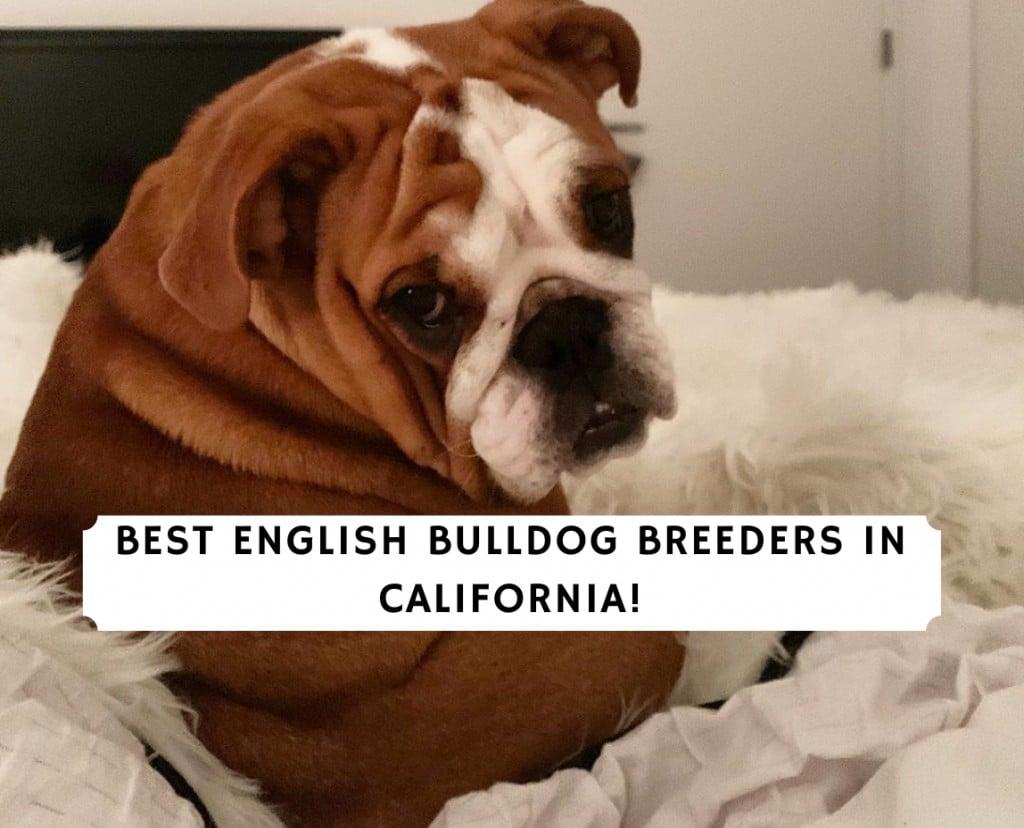 English Bulldog Breeders in California