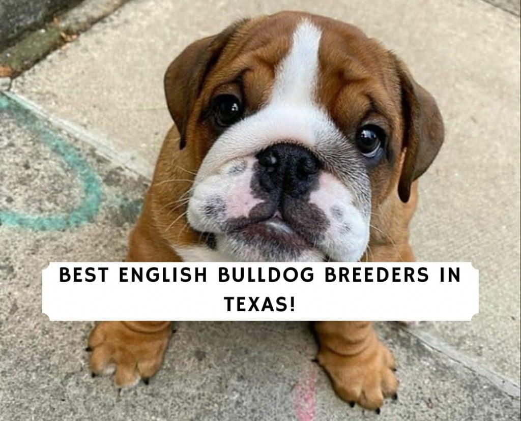 English Bulldog Breeders in Texas