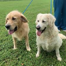 Everglades Golden Retriever Rescue