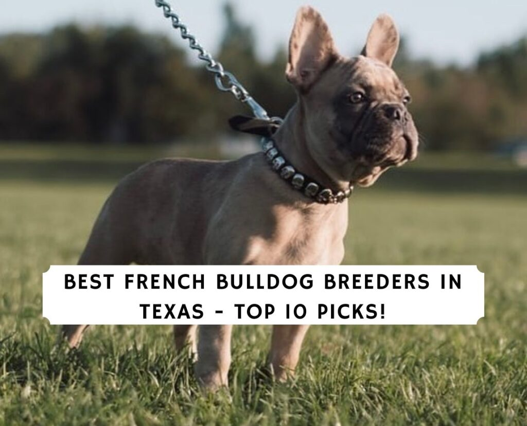 French Bulldog Breeders in Texas