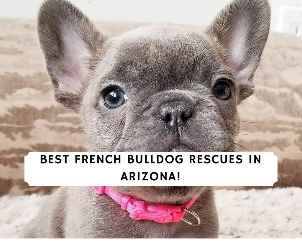French-Bulldog-Rescues-in-Arizona