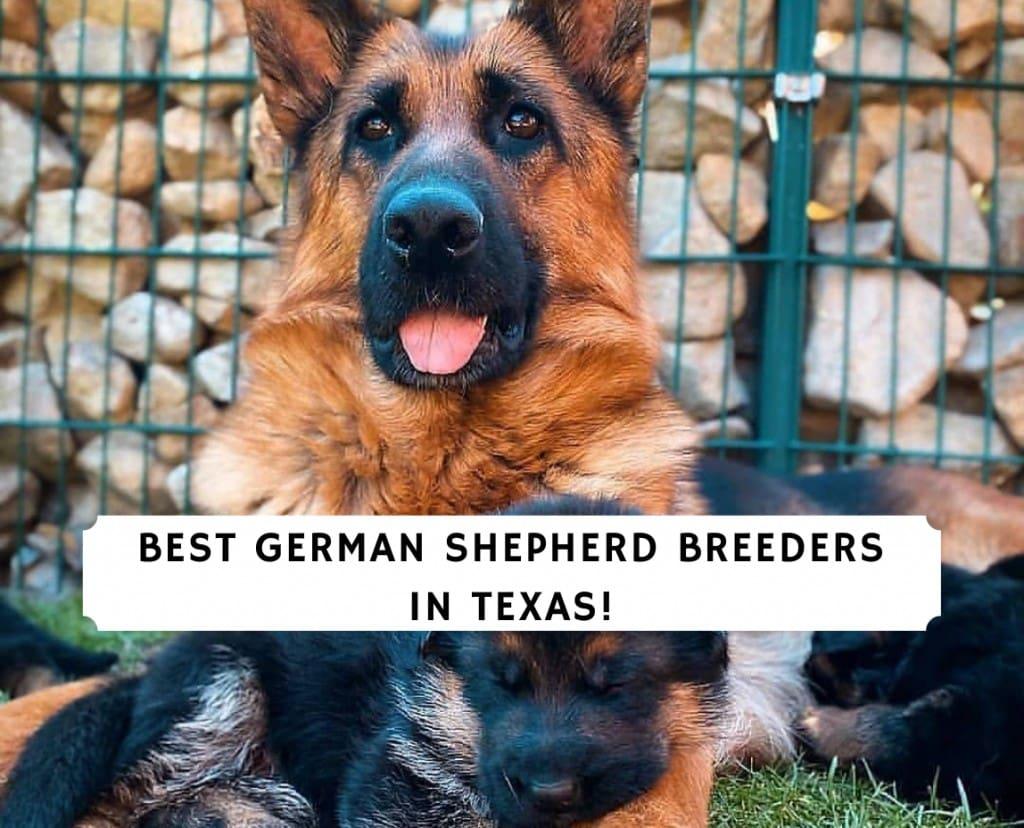 German Shepherd Breeders in Texas
