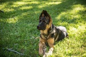German Shepherd Rescue and Adoptions North Carolina