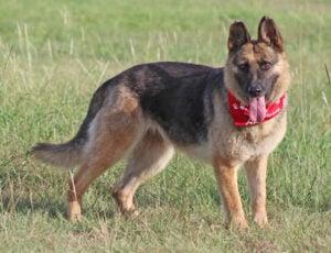 German Shepherd Rescue of Central Texas