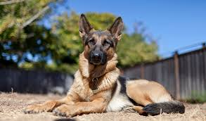 rescue shelters in North Carolina for German Shepherds