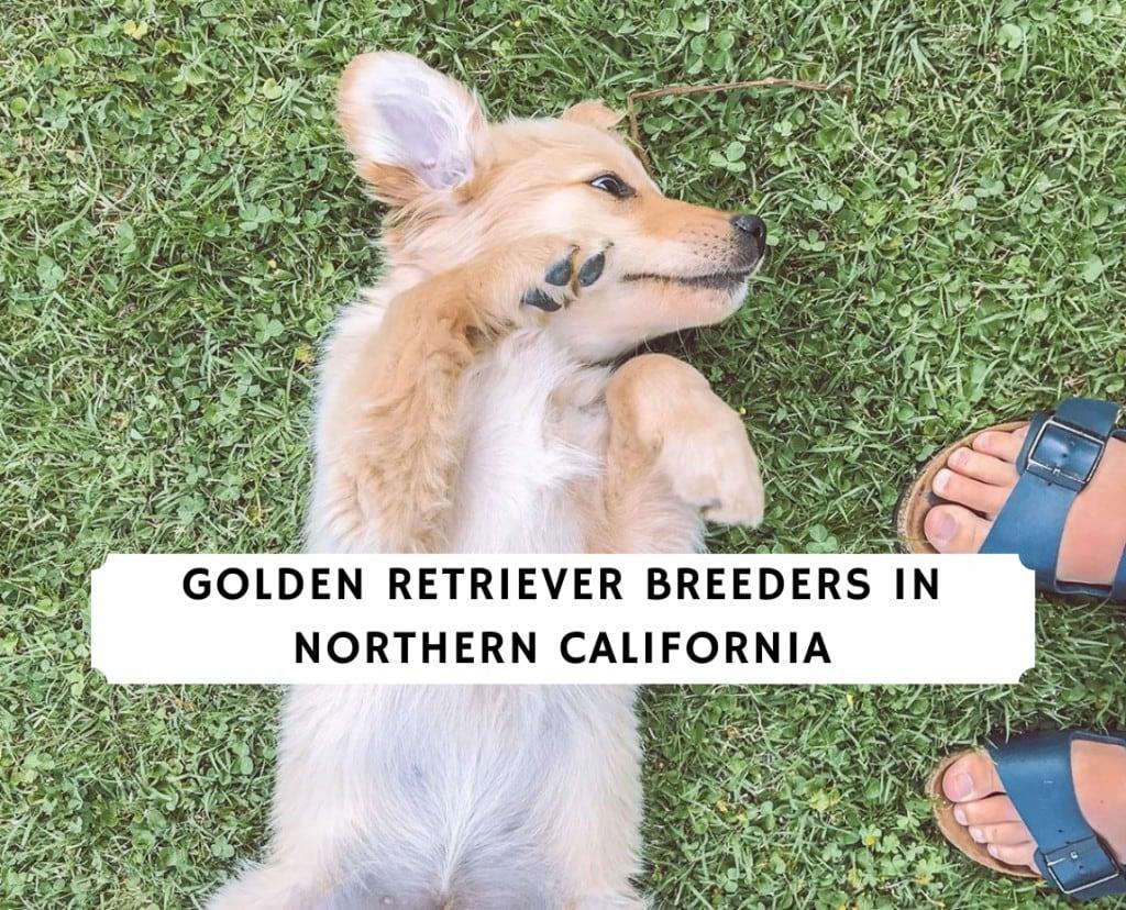 Golden Retriever Breeders in Northern California