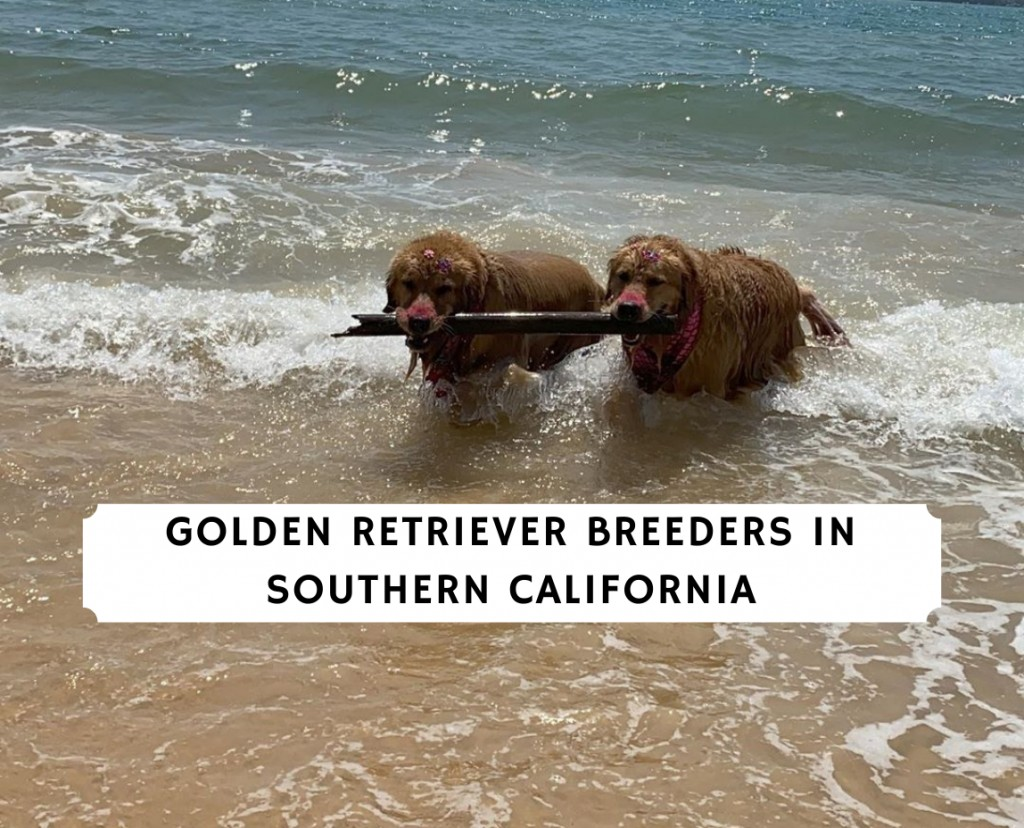 Golden Retriever Breeders in Southern California