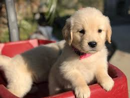 Golden Retriever puppies in Southern California