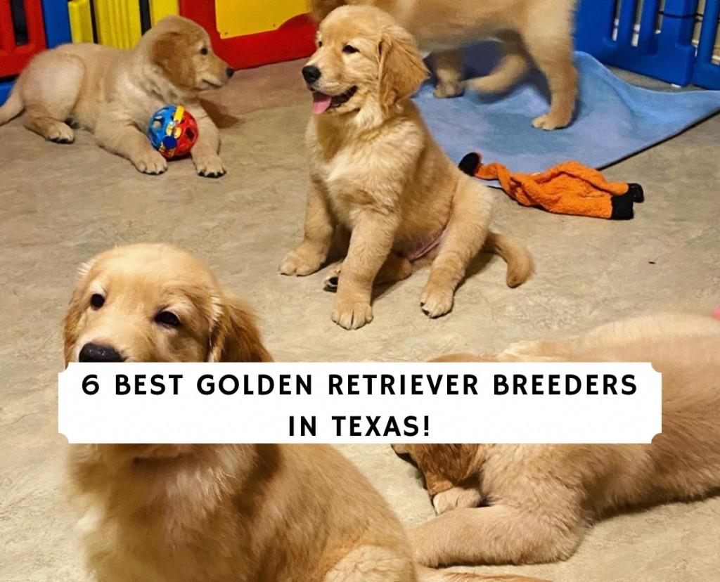 Golden Retriever Breeders in Texas