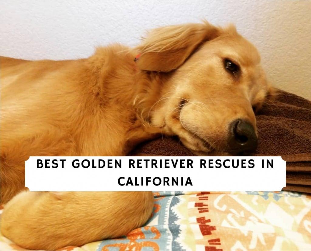 Golden Retriever Rescues in California