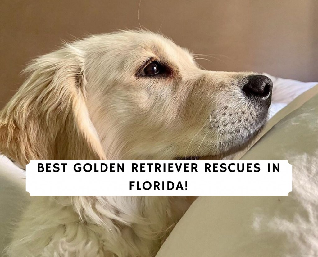 Golden Retriever Rescues in Florida