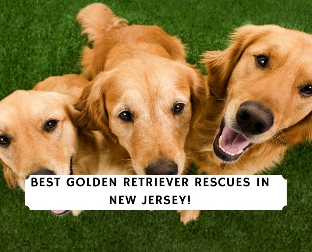 Golden Retriever Rescues in New Jersey