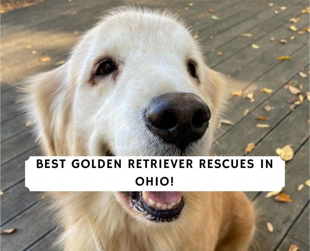 Golden Retriever Rescues in Ohio