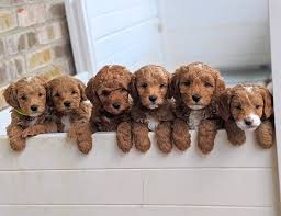 Gorgeous Goldendoodles