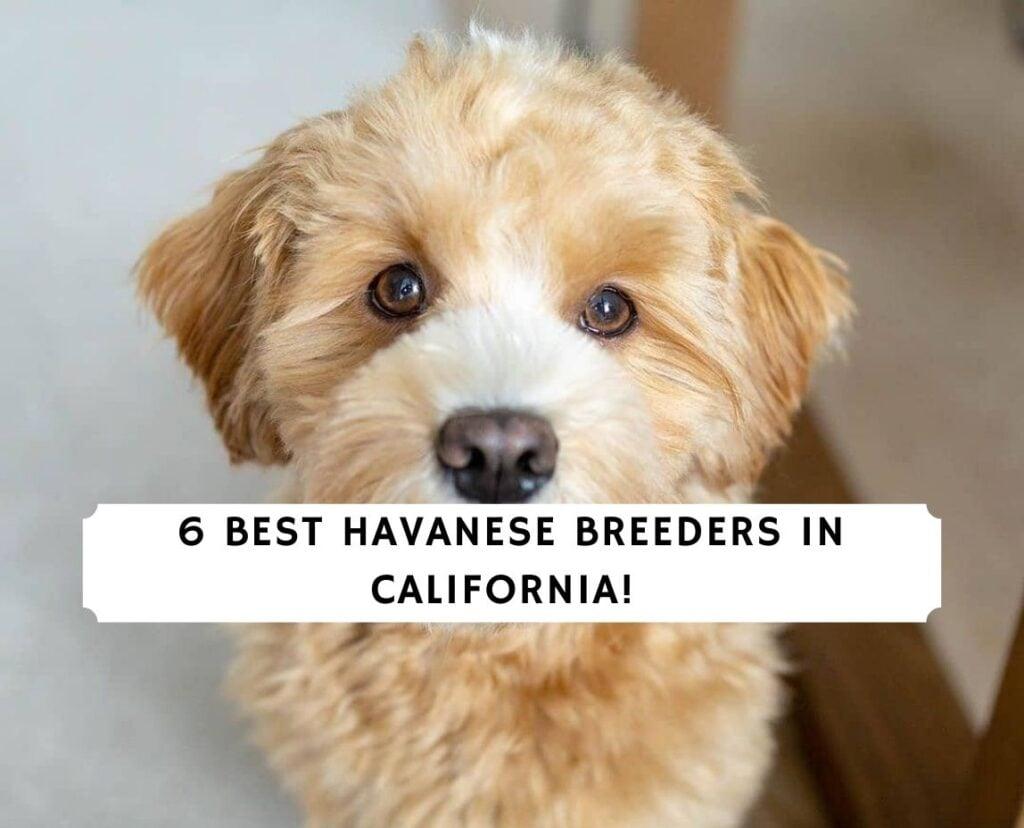Havanese Breeders In California Top 6 Picks 2020 We Love Doodles