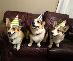 Harman Corgi Puppies Texas